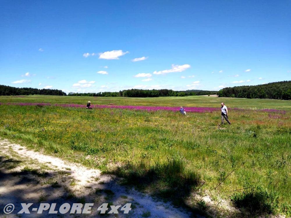 pole z fioletowymi kwiatami